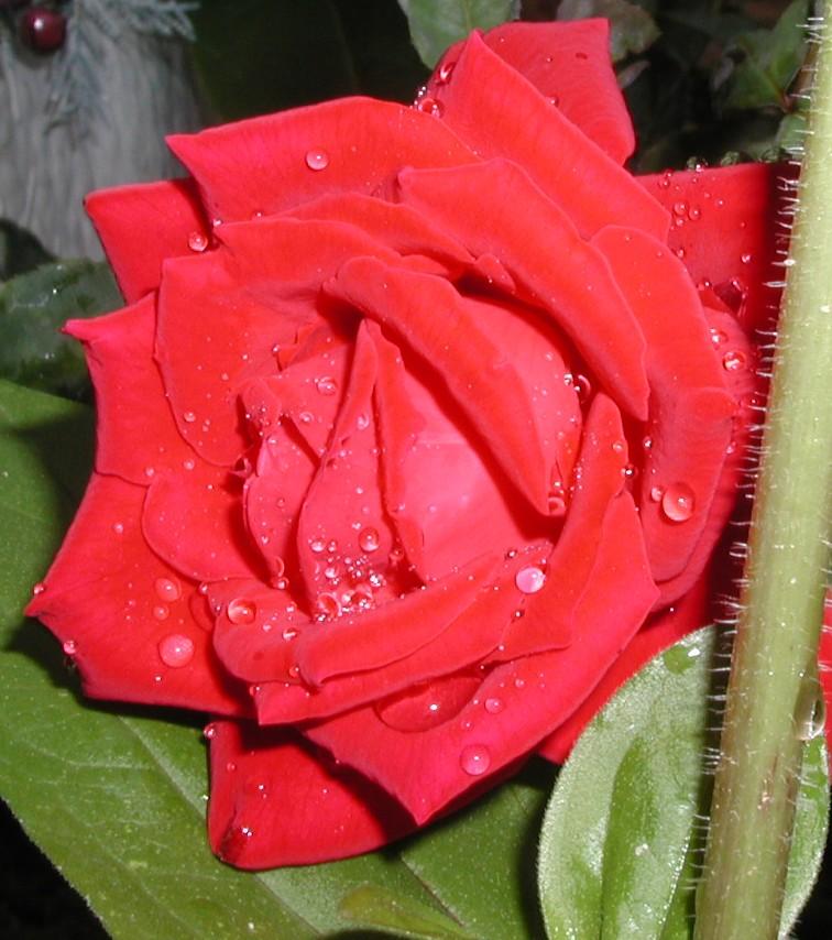Paula's Roses
