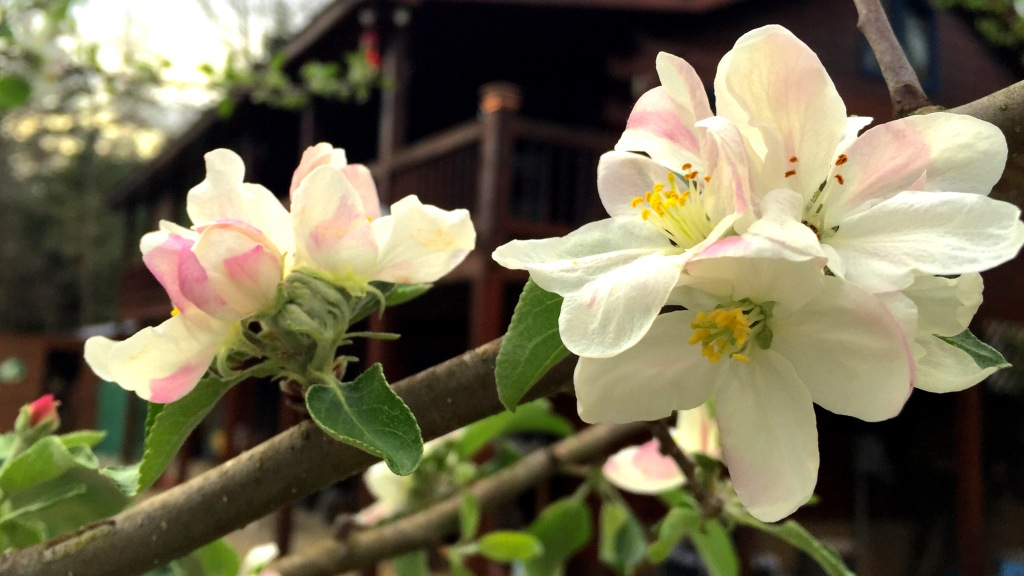 My Apple Blossoms 2015